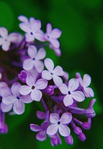 青海省西宁市的市花:丁香花