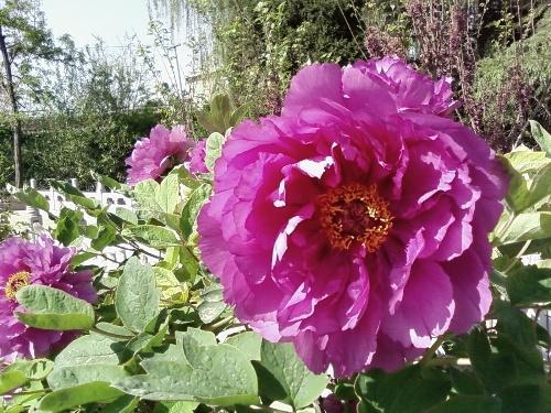 花卉传说:关于汉牡丹的传奇故事