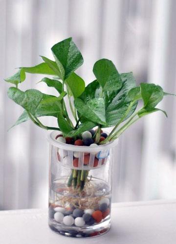 绿萝的养殖方法及对外界条件的要求