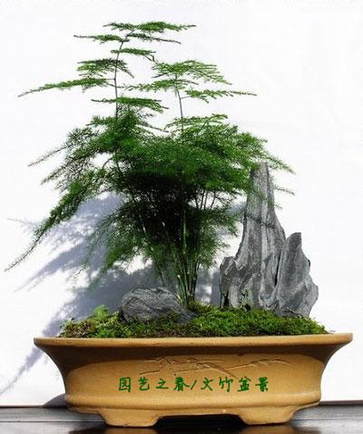 文竹盆景的造型与养护管理要点