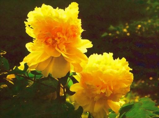 关于金黄牡丹由来的传说