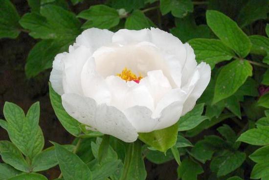 白牡丹的传说 :关于白牡丹是苦命女子变的传说