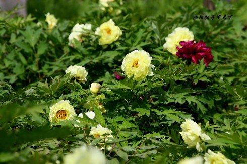 花卉传说:牡丹花的传说——金牡丹