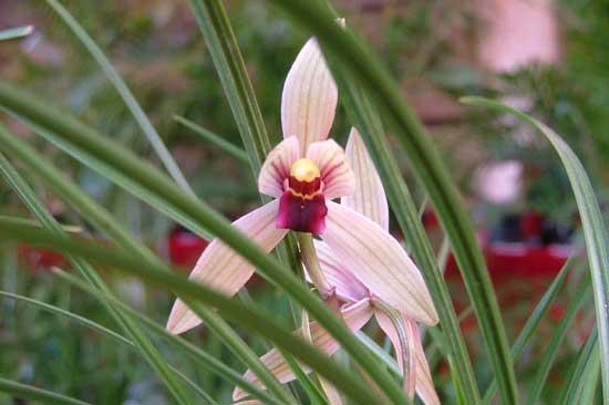 常见兰花种类鉴别及介绍——莲瓣兰