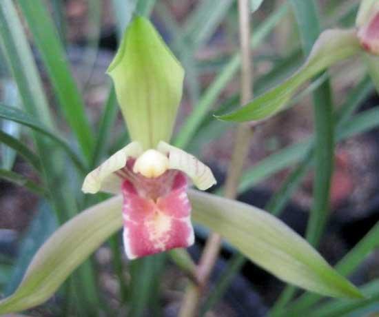 常见兰花种类鉴别及介绍——送春