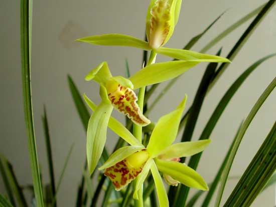 常见兰花种类鉴别及介绍——蕙兰