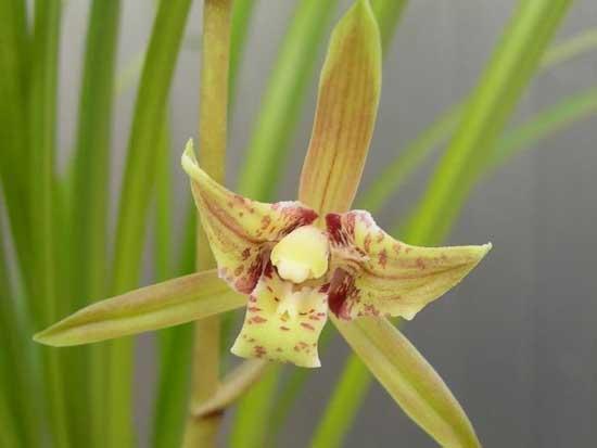 常见兰花种类鉴别及介绍——套叶兰