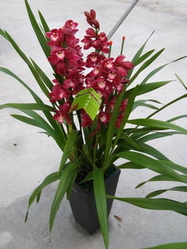 常见兰花种类鉴别及介绍——虎头兰(大花蕙兰)