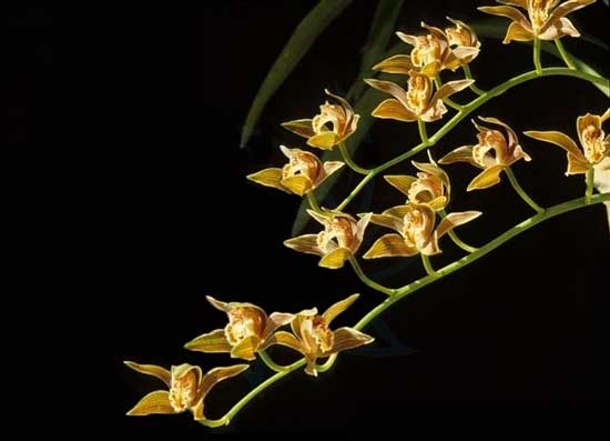 常见兰花种类鉴别及介绍——黄蝉兰
