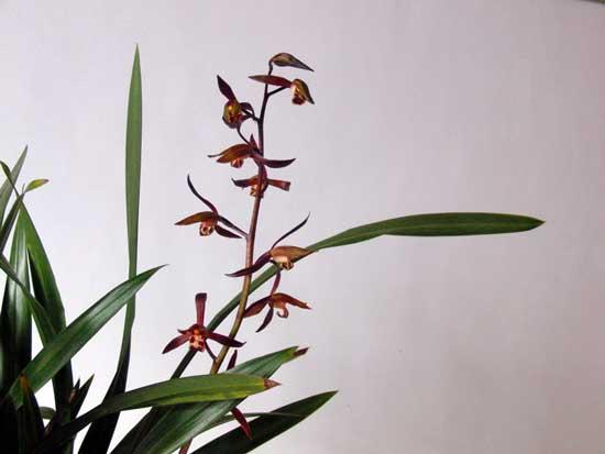 常见兰花种类鉴别及介绍——墨兰