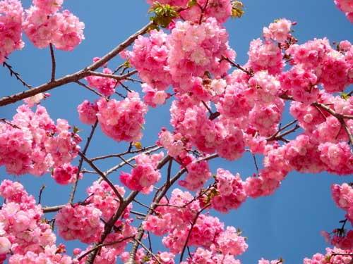 2014福建春季赏花·樱花