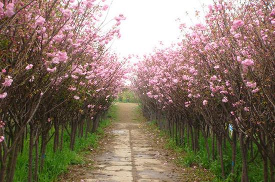 三月樱花 细数国内七大赏樱好去处