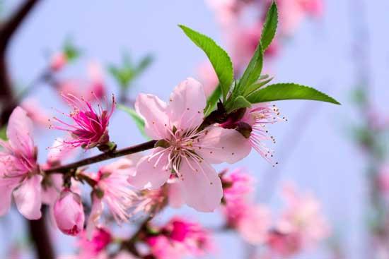 春季赏花 拍摄桃花的方法和技巧要点