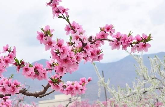 2014春季重庆各个区县赏花地点及赏花指南