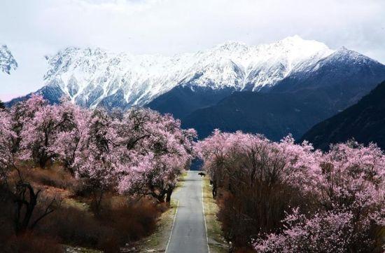 西藏林芝独特春色 雪山底下看桃花