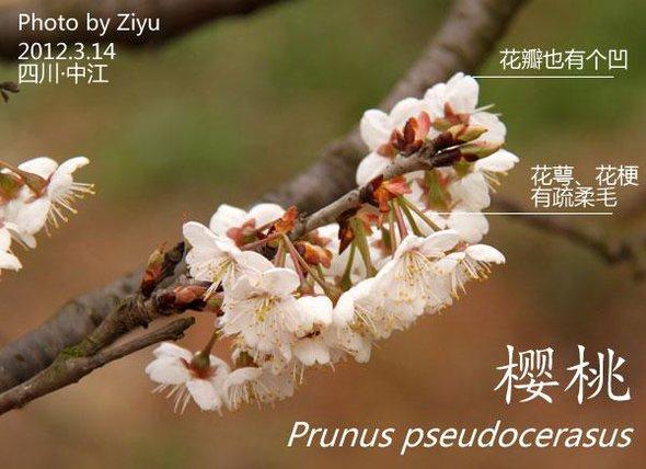 图解:区分梅、樱、杏、桃、李、的方法-樱桃