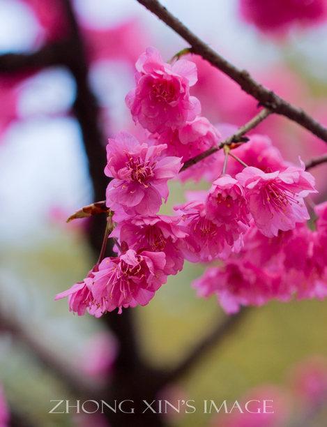 樱花的识别(辨别)方法及常见的樱花品种