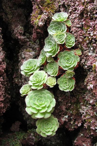 山地玫瑰(Greenovia)的四个品种简介