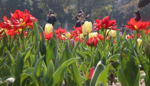 """""""荷兰日""""暨郁金香文化节开幕式在武汉植物园举行"""