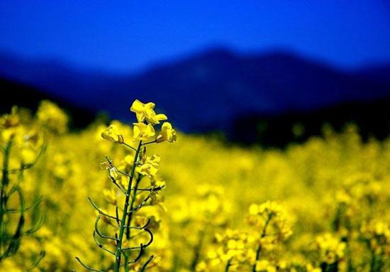 景致错落花草香 四川赏油菜花的好去处