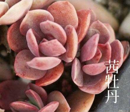 常见 多肉植物 图鉴,多肉植物图片及名称大全