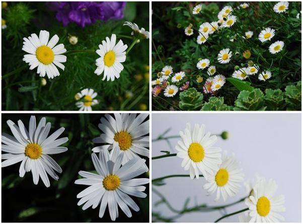 植物观察笔记——雏菊(Daisy)