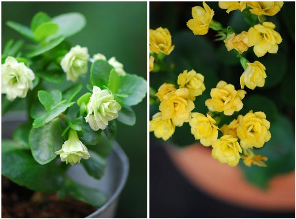 长寿花的江湖及栽培长寿花的小贴士