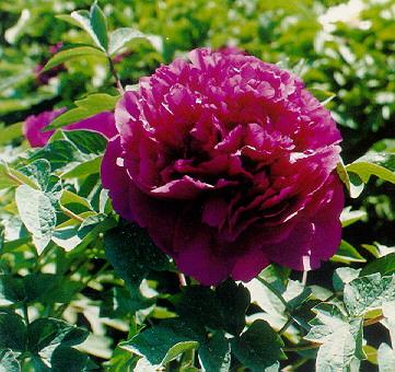 精品牡丹花品种及图片欣赏——紫色花系