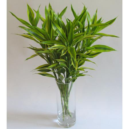 富贵竹怎么水养:富贵竹的养殖要领