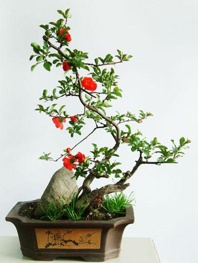 山茶花盆景的养护管理与观赏
