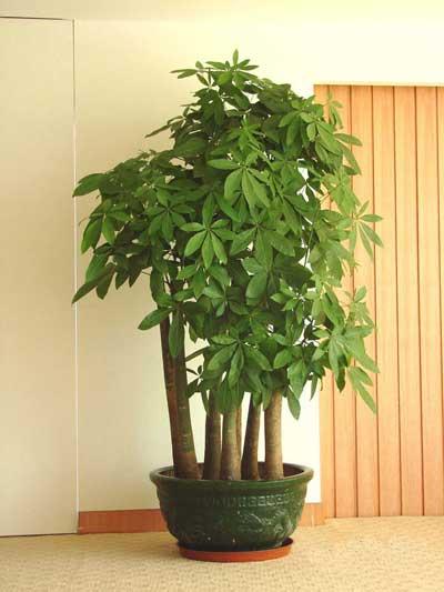 发财树对家居环境的影响及与家居风格的搭配