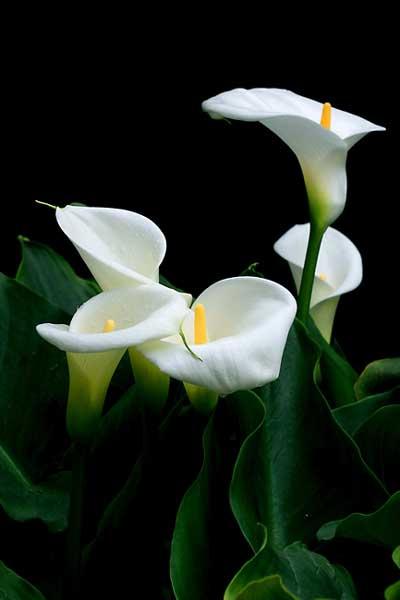 盆栽马蹄莲的养护管理小知识