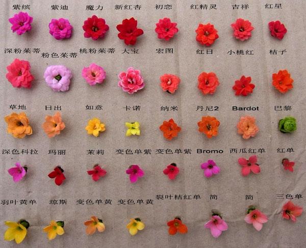 长寿花图谱:各色系长寿花品种鉴别与欣赏(4)