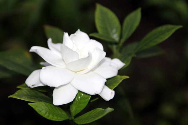 从栀子花的生长环境谈栀子花的养殖方法