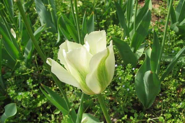 不同花形花色品种的郁金香:绿花型郁金香