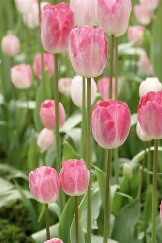 不同花形花色品种的郁金香:单瓣型郁金香