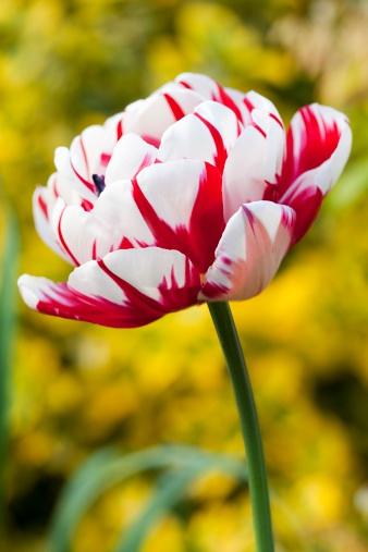 不同花形花色品种的郁金香:重瓣型郁金香