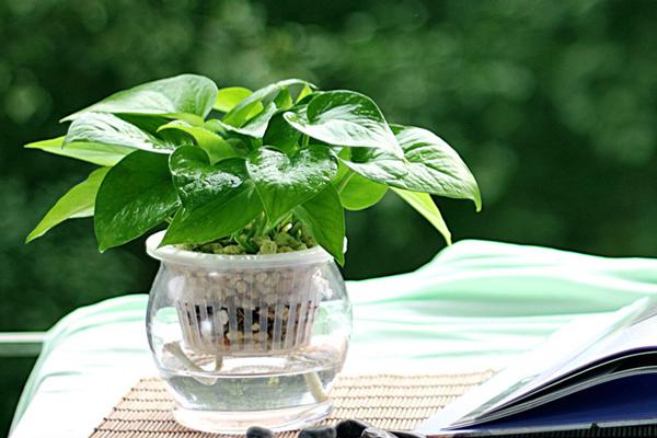 水培绿萝的秋冬季养护方法和注意事项