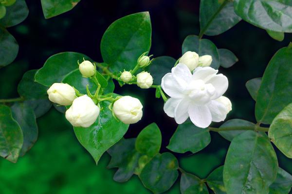 夏日清凉花卉——茉莉花