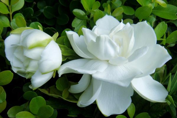 夏日清凉花卉——栀子花