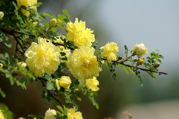 花语大全:黄刺玫的花语