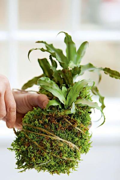 苔藓盆景:认识苔玉及苔玉养护小贴士