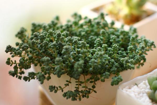 多肉植物姬星美人的生长习性与栽培管理