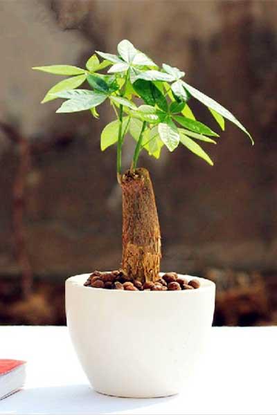 发财树的养护管理方法和注意事项