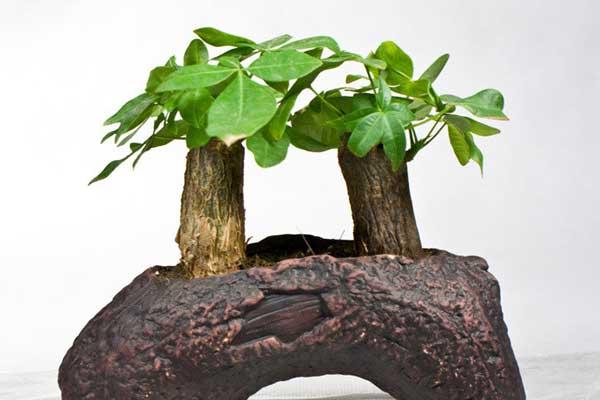 发财树的常见品种与养护技巧