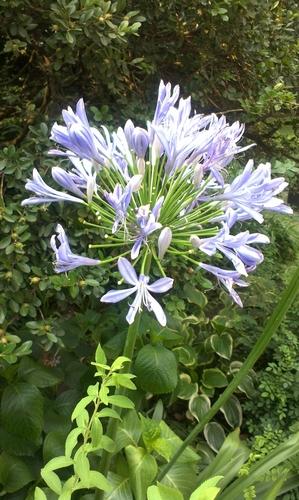 夏日清凉花卉——百子莲