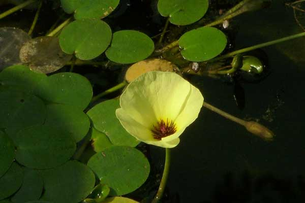 认识植物:水罂粟形态介绍及图鉴