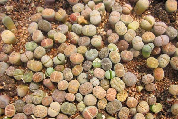 生石花播种方法:生石花播种全过程讲解