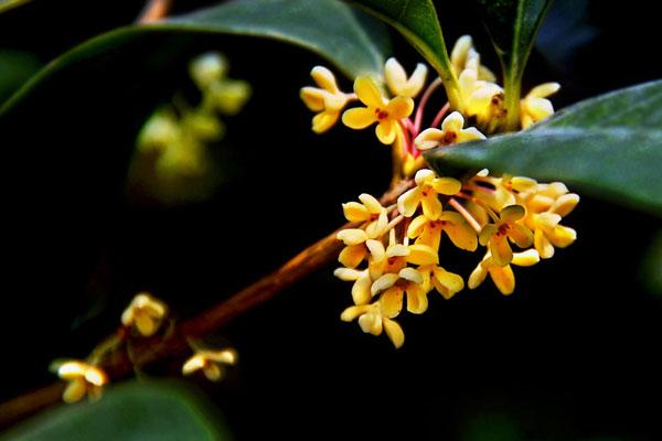 中秋节与花卉文化:中秋节与桂花的典故