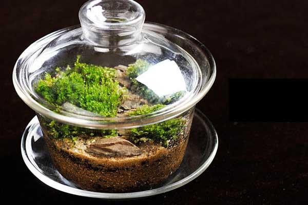 苔藓盆景:茶杯里精致透明的微观植物世界